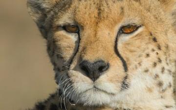 """Gepardenportät, Masai Mara, Der sogenannte """"Tränenstreifen"""" ist die markanteste Zeichnung im Gesicht von Geparden"""